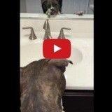 L'adorable réaction d'un pitbull qui découvre son reflet pour la première fois (Vidéo du jour)
