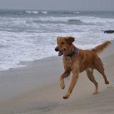 Les plages autorisées aux chiens en 2014