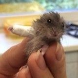 Ce tout petit hamster avec une patte dans le plâtre va vous fendre le cœur