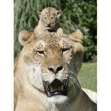 Le « plus gros chat du monde » est moitié lion, moitié tigre