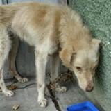 Association REV'ANIMAL : Pollux, symbole des atrocités que subissent les chiens de Roumanie