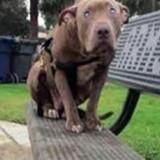 Pitbull assis sur un banc : elle s'approche et manque de s'étouffer en comprenant ce qui se passe