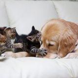 Ponzu, le chien qui prend soin de chatons orphelins (Photos)