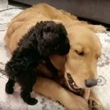Ses maîtres rentrent avec un petit carton, le chien s'approche pour renifler et se met à bondir de joie (vidéo)