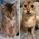 Après avoir perdu sa maîtresse et ses deux oreilles, ce chat a enfin une seconde chance au bonheur