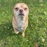 « Le chien le plus terrible du refuge » : cette annonce pour un Chihuahua rencontre un succès incroyable