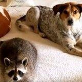 Improbable : un bébé raton-laveur adopté par un chien ! (Vidéo)