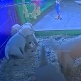 Dans cet hôpital, les infirmiers trouvent du réconfort à regarder des vidéos live d'une portée de chiots