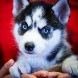 Quizz : Etes-vous imbattable sur les races de chiens ?