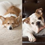 10 races de chiens qui peuvent vivre en appartement