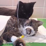Radamenes, le chat miraculé qui soigne les autres animaux