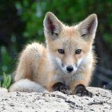 Attention à la rage animale en Italie !