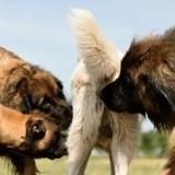 Pourquoi les chiens reniflent-ils les parties génitales ?