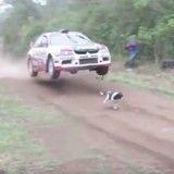 Un chien survit miraculeusement au passage d'une voiture de rallye (Vidéo du jour)