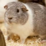Randy, le cochon d'Inde bientôt papa de plus de 400 petits