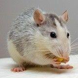 10 choses qui prouvent qu'adopter un rat est une excellente idée