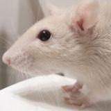 Des rats détectives dans la police néerlandaise