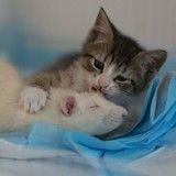 Ces rats ont un boulot étonnant et craquant : ils prennent soin de chatons orphelins