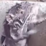 La vérité derrière la vidéo virale du rat qui se lave
