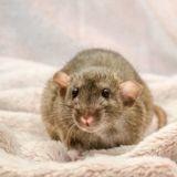 Nouvel An chinois 2020 : 10 rats trop choupis pour fêter l'année du Rat !