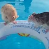 Ces deux rats s'éclatent dans la piscine, et ils adorent ça ! (Vidéo du jour)