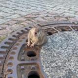 Ce rat potelé coincé dans un égout est une star dans le monde entier !