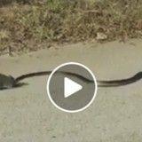 Quand une ratte héroïque sauve son petit de l'attaque d'un serpent (Vidéo du jour)