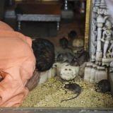 Ce temple d'Inde où les rats sont sacrés (Photos)