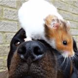 Le hamster et son Rottweiler : une tendre et insolite amitié à découvrir en images