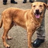 Ce chien policier à la retraite a été abandonné dans un refuge