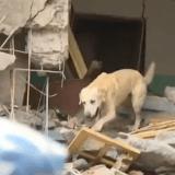 Ripley, un chien errant devenu secouriste à 4 pattes au Népal