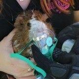 Un cochon d'inde sauvé des flammes par de valeureux pompiers