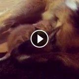Ce chaton câline son père adoptif, un grand chien affectueux (Vidéo du jour)