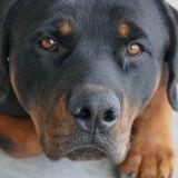 Une femme de 80 ans tombe et ne peut plus se relever : 4 Rottweilers arrivent et tout s'accélère