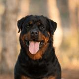 Il frappe son Rottweiler 45 fois : à son procès, il explique avoir agi en légitime défense