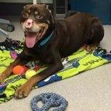 Le chien mutilé, aux oreilles, à la truffe et à la queue coupées, a été opéré avec succès