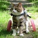 Rexie, le chat à roulettes que rien n'arrête