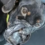 Un chien jeté dans un fossé avec du scotch sur les pattes et la gueule