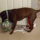 La chienne déchire le papier de son cadeau de Noël : en découvrant la surprise, elle saute de joie ! (Vidéo)