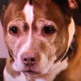 Ce Pitbull a sauvé toute sa famille d'une fuite de gaz