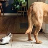 Le chaton approche du Dogue de 60 kilos : le félin ne se doute pas une seconde de ce qui va arriver…