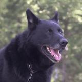 Un chien récompensé pour son dévouement envers son maître, victime d'un tragique accident
