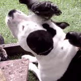 Quand des oisillons choisissent un Pitbull comme meilleur ami… (Vidéo du jour)