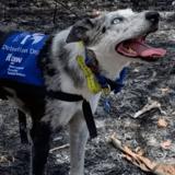 Un chien héroïque sauve des koalas des flammes, Tom Hanks veut en faire le nouveau héros de Disney