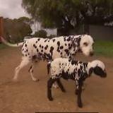 Le Dalmatien se rapproche de l'agneau : sa réaction fait le tour du monde !