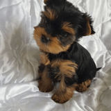 11 Yorkshire Terrier vraiment trop mignons