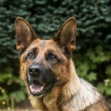 Le chien du Raid entre dans un appartement dans les Yvelines : l'intervention vire au drame