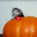 D'adorables chatons investissent une citrouille pour préparer Halloween (Vidéo du jour)