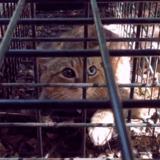 """On vous présente le """"chat-renard"""", nouvelle espèce féline découverte en Corse"""