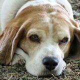 Les chiens savent-ils quand ils vont mourir ? Voici la réponse des chercheurs